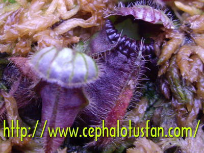 Cephalotus Minor form