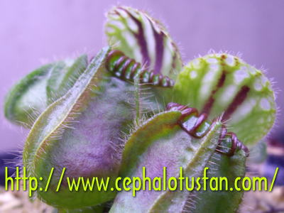 Cephalotus German Giant