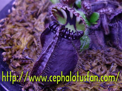 Cephalotus Giant(Black)