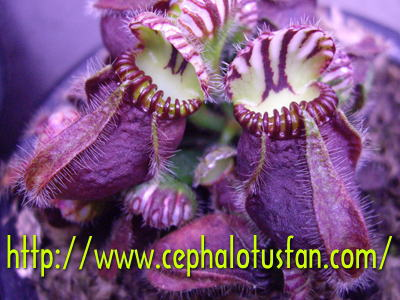 Cephalotus 'Hummers Giant'
