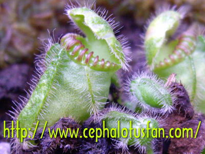Cephalotus Typical